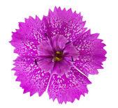 Tiny pink flower — Stock Photo