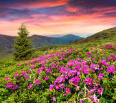 Rhododendron flowers in the mountains. — Stock Photo