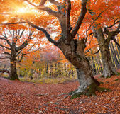 Beech in the autumn forest — Stock Photo
