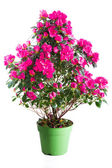 цветущие растения розовая азалия — Стоковое фото