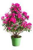 Blossoming plant of pink azalea — Stock fotografie