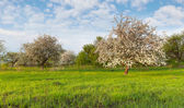Apple trees in the garden at spring — Foto Stock