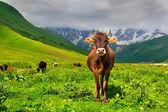 高山牧场上的牛 — 图库照片
