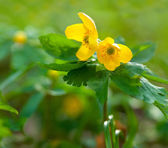 Yellow wildflowers in spring wood — Stock Photo