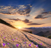 Mountains with field of crocuses — Stock Photo