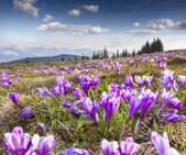 Blossom of crocuses in mountains — Stock Photo