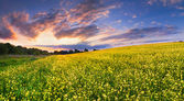 Landscape of blossom rape on sundown — Stock Photo