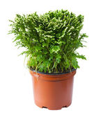 Decorative fern in a pot — Foto Stock