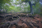 Tree with giant roots in the misty forest.  — Stock Photo