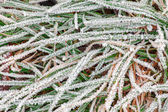 Frosty morning grass — Stock Photo