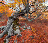 Huge beech in autumn forest — Stock Photo