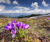 Blossom of crocuses in the mountains — Stock Photo
