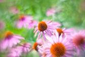 Flowers of Echinacea — Stock Photo