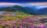 Pink rhododendron flowers in mountains — Stock Photo