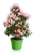 Azalea in green flowerpot — Stock Photo