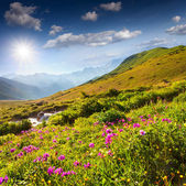 Blooming pink flowers in mountains — Stock Photo