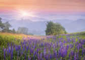Lupine flowers  in the mountains — Stock fotografie