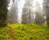 Misty summer morning in woods — Stock Photo