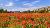 Blossom field of poppies — Stock Photo