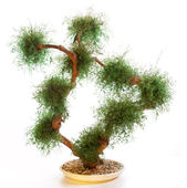 Chinese green bonsai tree — Stock Photo