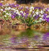 Snowdrop reflected in the water — Stock Photo