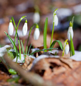 Snowdrops  in spring wood — Stock Photo