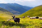 Flock of sheep and goat in the mountains — Stock Photo