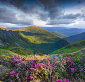 Pink rhododendron flowers on summer mountain — Foto de Stock