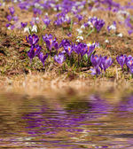 Closeup of crocuses reflected in the water — Stock Photo