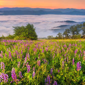 Field of blooming lupine — Stock Photo