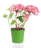 Blossoming plant of hydrangea — Stock fotografie