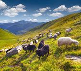 Flock of sheep  in the Carpathian mountains. — Stockfoto