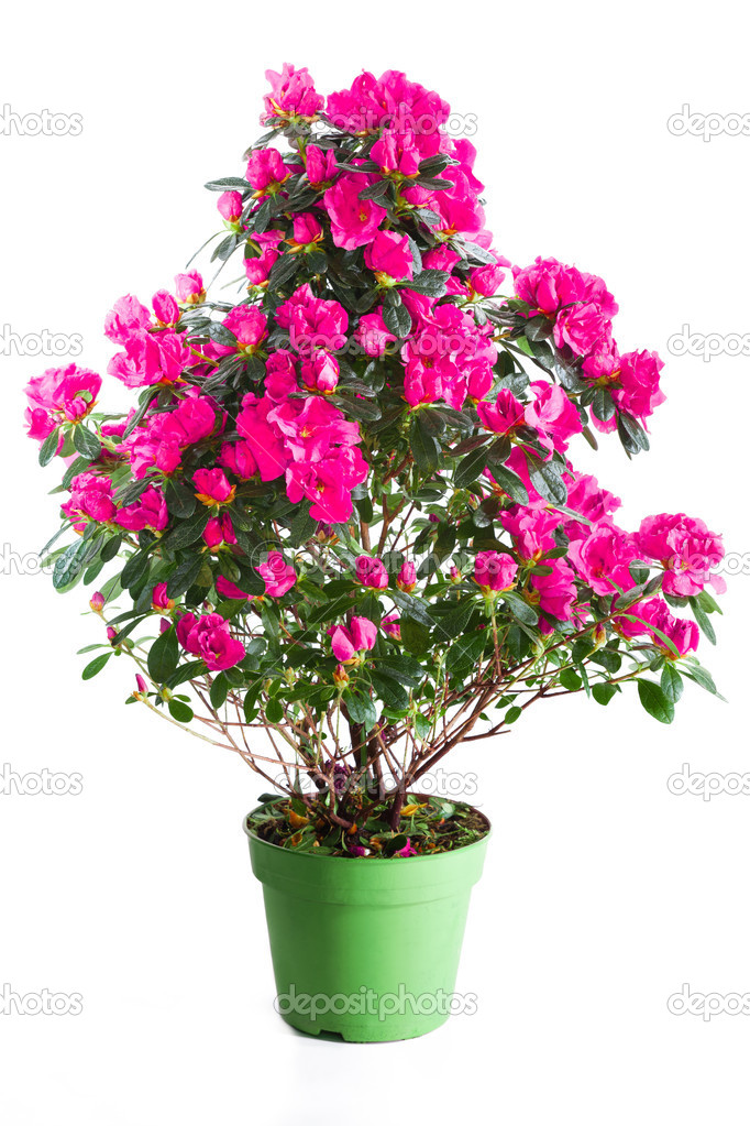 Planta flor de azal ia rosa fotografias de stock - Azalea cuidados planta ...