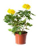 Rosa amarilla en maceta — Foto de Stock