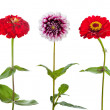 Three Zinnia and Dahlia flowers — Stock Photo #50969943