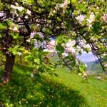 Постер, плакат: Blossom apple tree