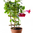 Blossoming plant of cyclamen in flowerpot — Stock Photo #50972083