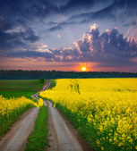 Summer field of yellow flowers. — Zdjęcie stockowe