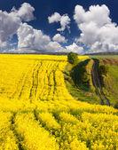 Summer  field of yellow flowers — Foto de Stock