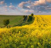 Paisaje con un campo de flores amarillas. — Foto de Stock