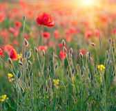 Poppies in rays sun — Stock Photo