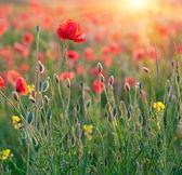 Poppies in rays sun — Stock Photo