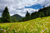 Field of daisies blooming in the mountains — Stockfoto
