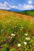 Field of flowering chamomiles in the mountain — Stock Photo