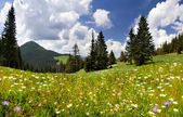 Daisies blooming in the mountains — Stockfoto
