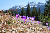 Crocuses in the mountains at spring — Zdjęcie stockowe