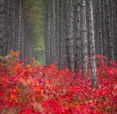 Kiefernwald mit roten buchsen — Stockfoto