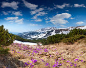 Field of blooming crocuses in the mountains — Stockfoto