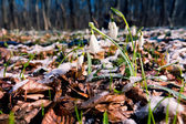 Snowdrops against old leaves — Stock Photo