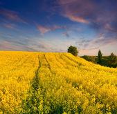 Summer field of yellow flowers. — Foto de Stock